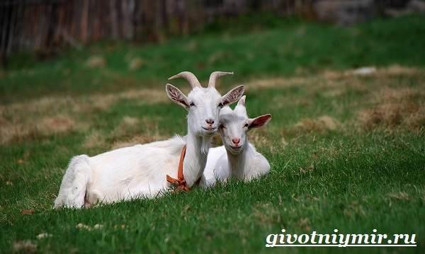 Коза-животное-Образ-жизни-среда-обитания-и-уход-за-козой-2