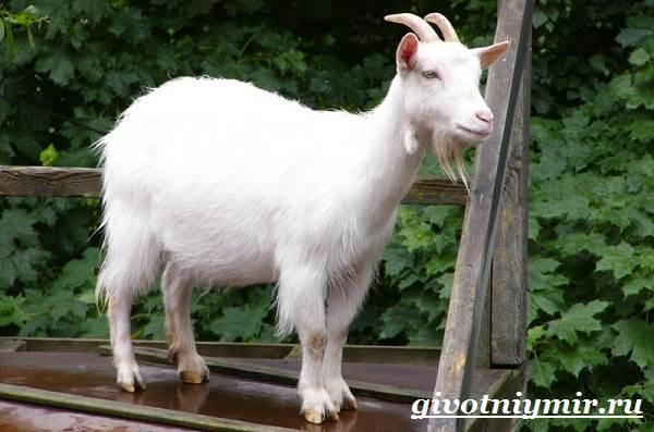 Коза-животное-Образ-жизни-среда-обитания-и-уход-за-козой-3