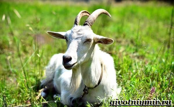 Коза-животное-Образ-жизни-среда-обитания-и-уход-за-козой-4