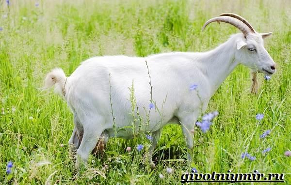 Коза-животное-Образ-жизни-среда-обитания-и-уход-за-козой-7