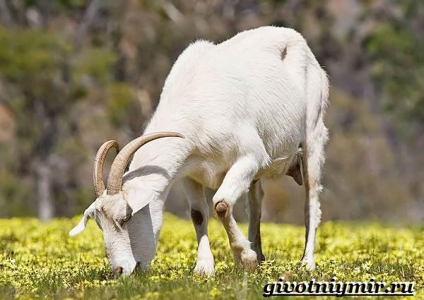 Коза-животное-Образ-жизни-среда-обитания-и-уход-за-козой-9