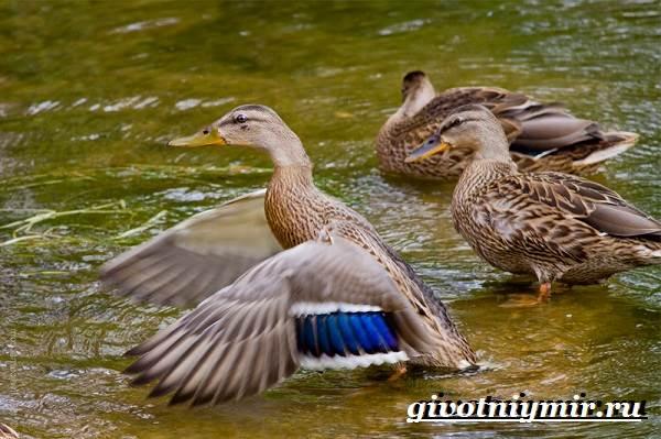Кряква-птица-Образ-жизни-и-среда-обитания-кряквы-4
