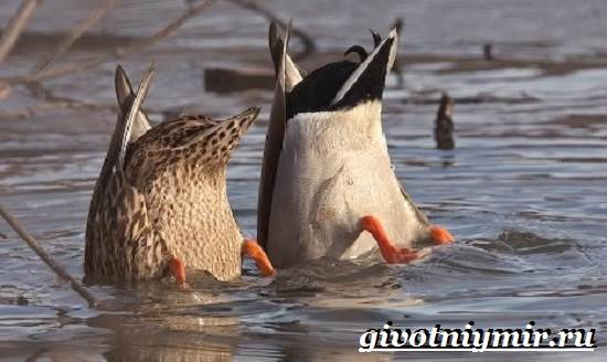 Кряква-птица-Образ-жизни-и-среда-обитания-кряквы-6
