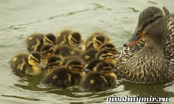 Кряква-птица-Образ-жизни-и-среда-обитания-кряквы-7