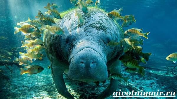 Ламантин-животное-Образ-жизни-и-среда-обитания-ламантина-1