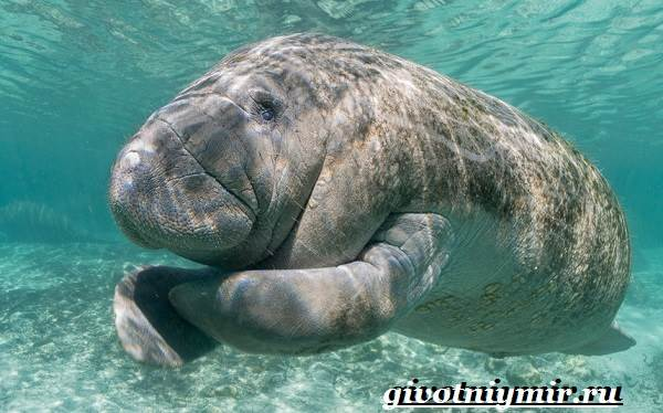Ламантин-животное-Образ-жизни-и-среда-обитания-ламантина-2