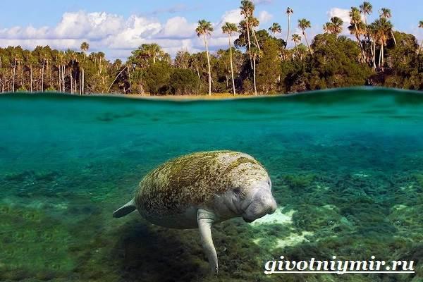Ламантин-животное-Образ-жизни-и-среда-обитания-ламантина-5
