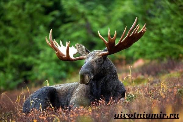 Лось-животное-Образ-жизни-и-среда-обитания-лося-1