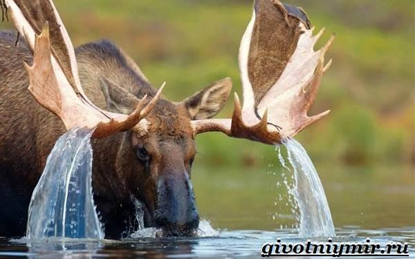 Лось-животное-Образ-жизни-и-среда-обитания-лося-2