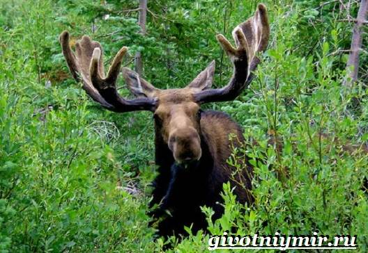 Лось-животное-Образ-жизни-и-среда-обитания-лося-6