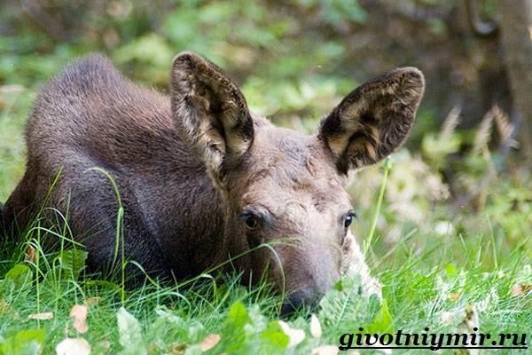 Лось-животное-Образ-жизни-и-среда-обитания-лося-8