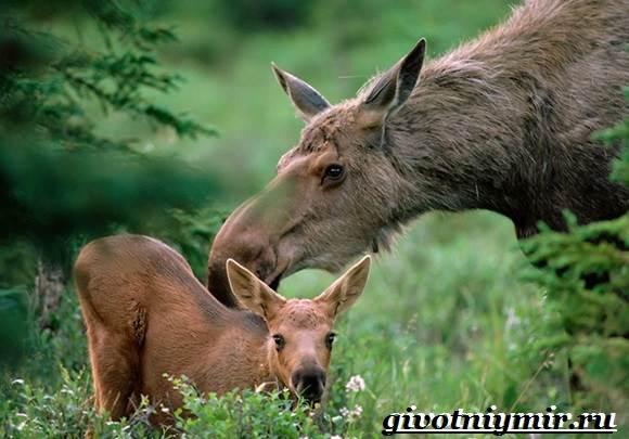 Лось-животное-Образ-жизни-и-среда-обитания-лося-9