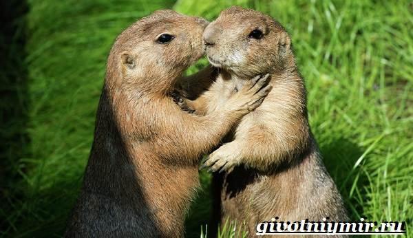 Луговые-собачки-Образ-жизни-и-среда-обитания-луговых-собачек-1