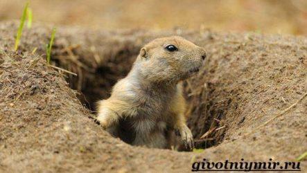 Луговые собачки. Образ жизни и среда обитания луговых собачек