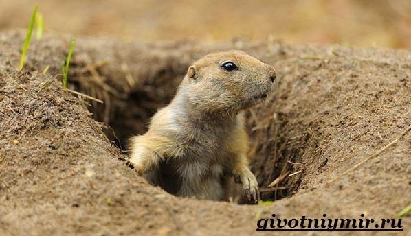 Луговые-собачки-Образ-жизни-и-среда-обитания-луговых-собачек-2