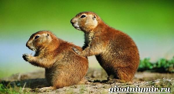Луговые-собачки-Образ-жизни-и-среда-обитания-луговых-собачек-3