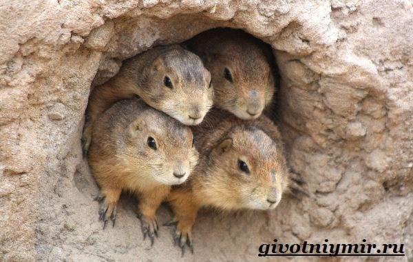 Луговые-собачки-Образ-жизни-и-среда-обитания-луговых-собачек-4