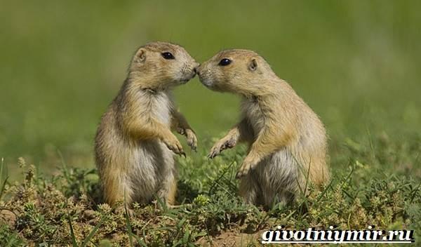 Луговые-собачки-Образ-жизни-и-среда-обитания-луговых-собачек-5
