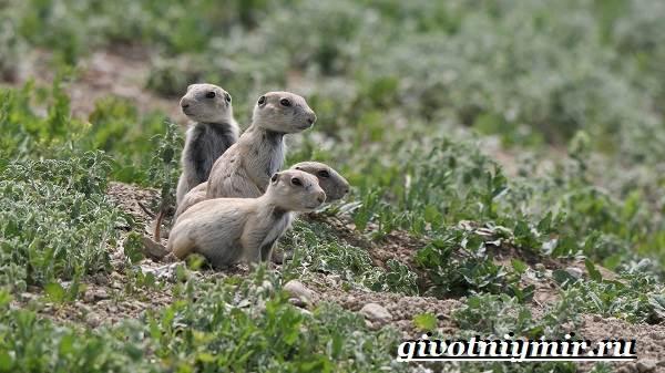 Луговые-собачки-Образ-жизни-и-среда-обитания-луговых-собачек-6