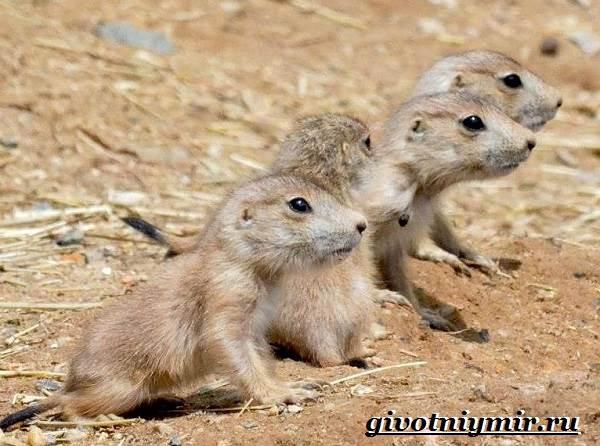 Луговые-собачки-Образ-жизни-и-среда-обитания-луговых-собачек-9