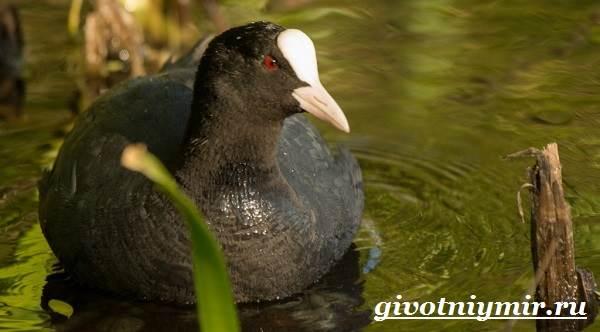 Лысуха-птица-Образ-жизни-и-среда-обитания-лысухи-1
