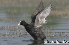Лысуха птица. Образ жизни и среда обитания лысухи