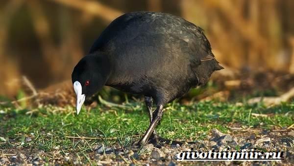 Лысуха-птица-Образ-жизни-и-среда-обитания-лысухи-4
