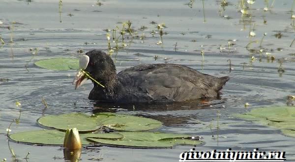 Лысуха-птица-Образ-жизни-и-среда-обитания-лысухи-5