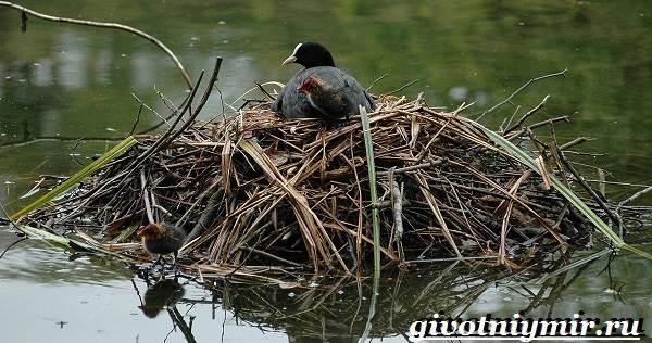 Лысуха-птица-Образ-жизни-и-среда-обитания-лысухи-8