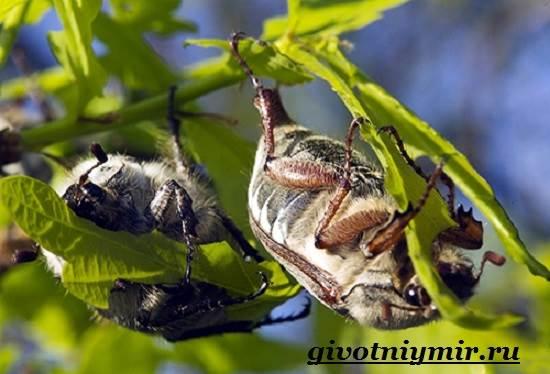 В какой среде обитают жука майского