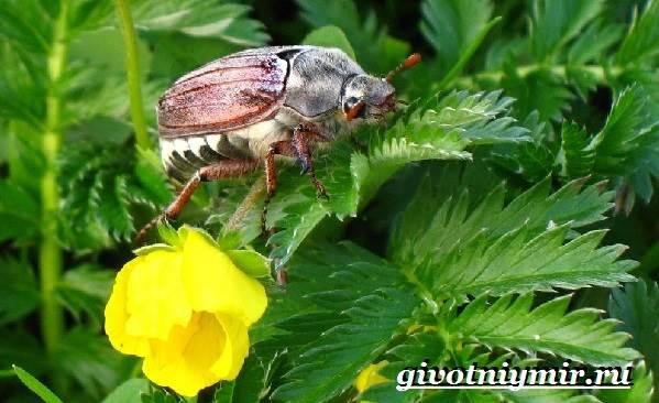 Майский-жук-насекомое-Образ-жизни-и-среда-обитания-майского-жука-6