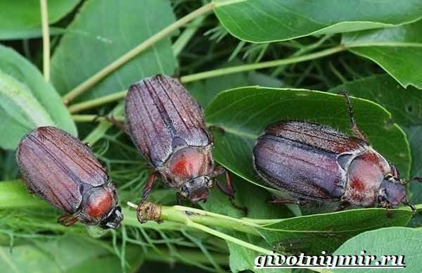 Майский-жук-насекомое-Образ-жизни-и-среда-обитания-майского-жука-7