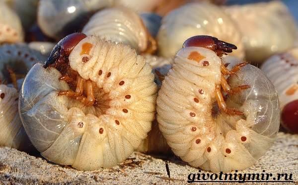 Майский-жук-насекомое-Образ-жизни-и-среда-обитания-майского-жука-9