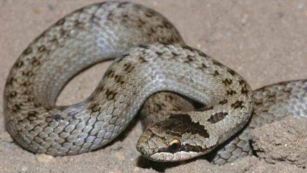 Медянка змея. Образ жизни и среда обитания медянки