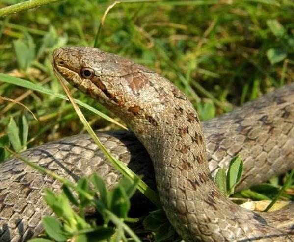 Медянка-змея-Образ-жизни-и-среда-обитания-медянки-2-1