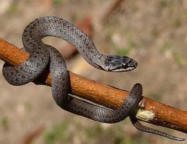 Медянка-змея-Образ-жизни-и-среда-обитания-медянки-4-1