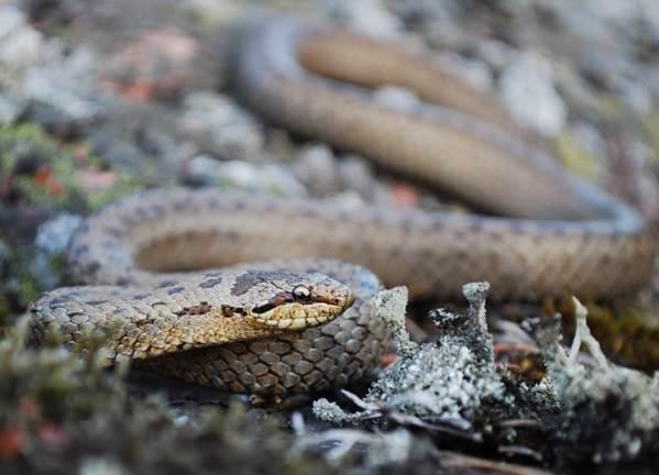 Медянка-змея-Образ-жизни-и-среда-обитания-медянки-5-1