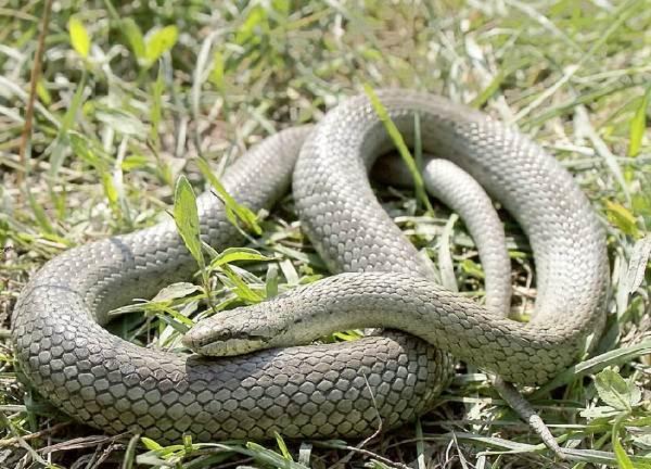 Медянка-змея-Образ-жизни-и-среда-обитания-медянки-6-1