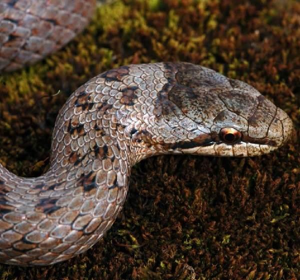 Медянка-змея-Образ-жизни-и-среда-обитания-медянки-7-1