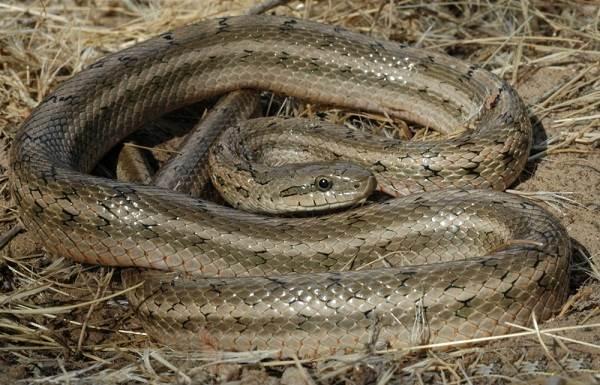 Медянка-змея-Образ-жизни-и-среда-обитания-медянки-8-1