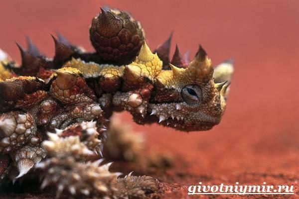 Молох-ящерица-Образ-жизни-и-среда-обитания-молоха-2