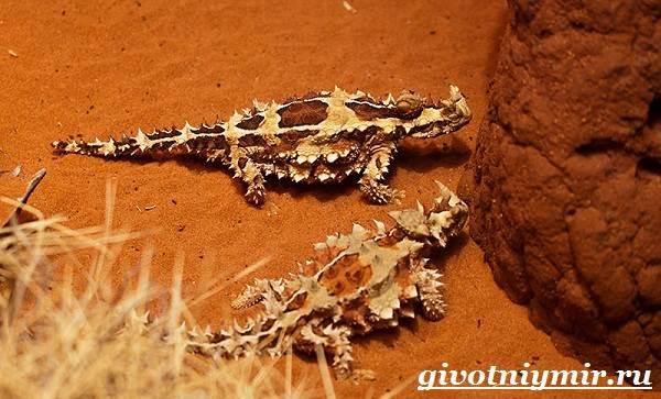 Молох-ящерица-Образ-жизни-и-среда-обитания-молоха-6