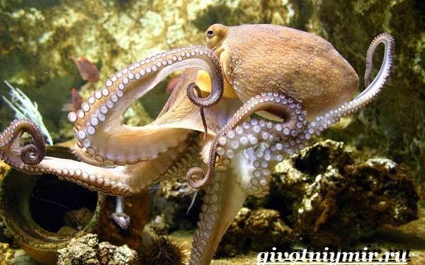 Осьминог-животное-Образ-жизни-и-среда-обитания-осьминога-11