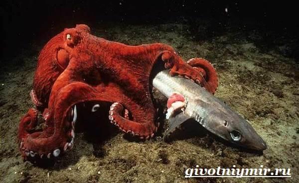 Осьминог-животное-Образ-жизни-и-среда-обитания-осьминога-12