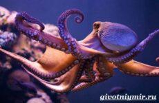 Осьминог животное. Образ жизни и среда обитания осьминога