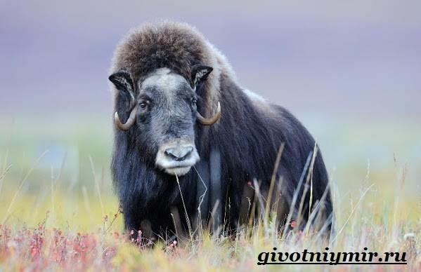 Овцебык-животное-Образ-жизни-и-среда-обитания-овцебыка-1