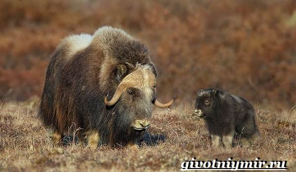 Овцебык-животное-Образ-жизни-и-среда-обитания-овцебыка-10