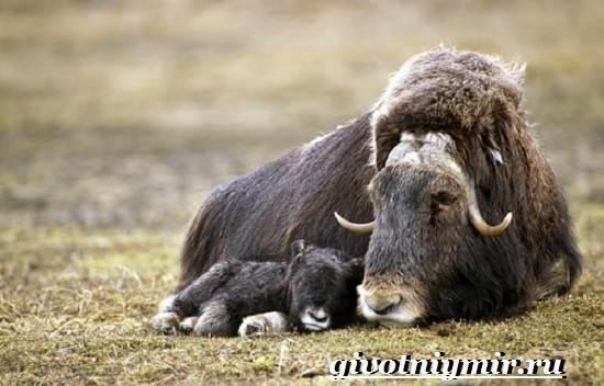Овцебык-животное-Образ-жизни-и-среда-обитания-овцебыка-11