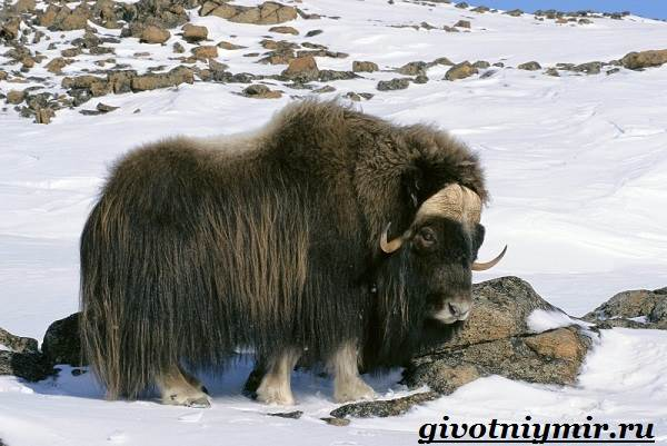 Овцебык-животное-Образ-жизни-и-среда-обитания-овцебыка-2