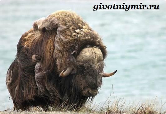 Овцебык-животное-Образ-жизни-и-среда-обитания-овцебыка-3